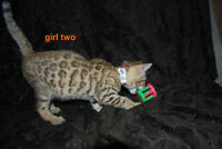 Bengal kittens   TICA Registered  2  year health guarantee