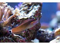 MARINE FISH / LITTLE TAILSPOT BLENNY COOL LITTLE FISH