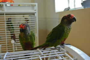 Young pair of Roseifrons or Rose Fronted Conures for sale