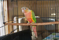 SPECIAL St-Valentin BeBe Pineapple CONURE seulement $275
