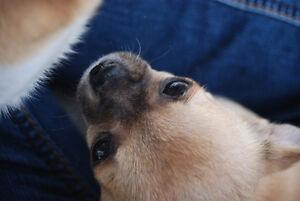 chihuahua enr CCC petite génétique et tempérament sociable