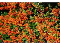 Pyracantha Orange Glow Hedging Plant