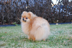 CKC Registered Pomeranian Males from Champion Lines