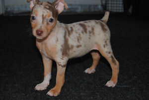 Purebred Rat Terriers - 6 Left - Ready to go!!!