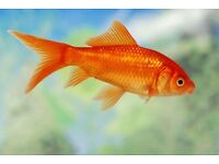 Goldfish pond fish free delivery local