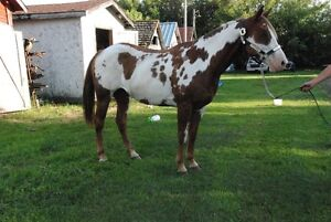 7 Year Old APHA Mare For Sale