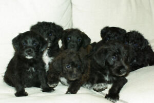 Jackapoo Puppies (Jack Russell and Poodle Cross)
