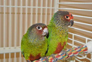 Rose-Fronted Conure Handfed babies Roseifrons