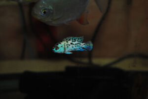 Electric Blue Jack Dempsey $30 each 2 for $50 or 6 for $120