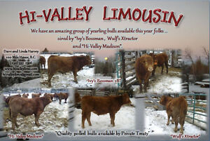 Polled Limousin Yearling Bulls ... available soon.