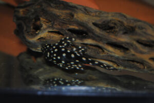 Orinoco Angel Pleco or Snowball Pleco