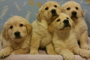 Beautiful pure Labrador puppies!! 4 males Ready NOW