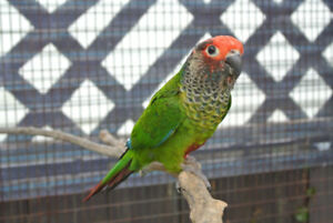 Pair of Roseifrons or Rose Fronted Conures