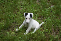 Registered Smooth Fox Terriers