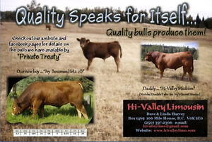 Quality Limo Bulls for Sale ... Polled Two Year Olds!