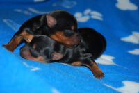 Chiot Yorkshire Puppy SPCANB 0318