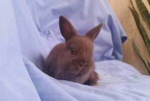 Netherland Dwarf x Mini Lop Rabbit Baby Boy - Vaccinated Joondalup Joondalup Area Preview