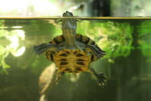 Red Eared Sliders Young