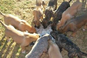 Roo dog x stag hound puppies Narrogin Narrogin Area Preview
