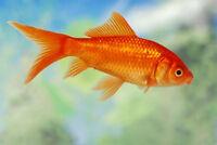 ISO - Unwanted Goldfish