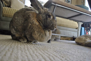Looking for a temporary foster home for 2 flemish giants