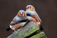 Pair male Zebra FInches