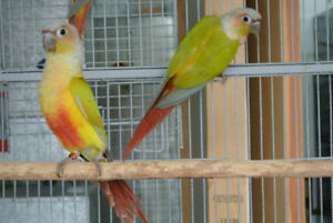 Young Pair Yellow Sided Dilute conure