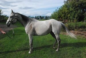 QH/TB Mare For Sale