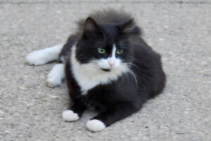 Black and white cat found in Colonial Acres in Waterloo