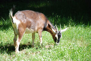 1 Toggenberg Doe goat, 1.5 yrs old