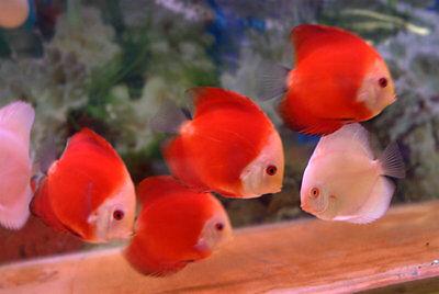 Fuji Red Discus (Fuji Apple Discus Fish), Medium-Sized - Live Tropical Fish