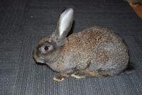 Flemish Giant Rabbits For Sale