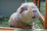 Looking for guinea pig to keep other company!!