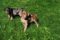 Catahoula Pups