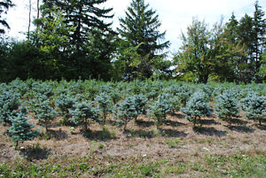 Trees -Blue Spruce, White Pine & Birch -Wholesale Clearance Sale