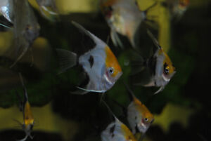 Koi and Silver Angelfish for sale