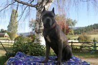 Cane Corso looking for her furever home