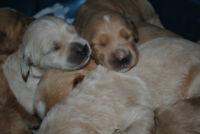 Standard Goldendoodle Puppies