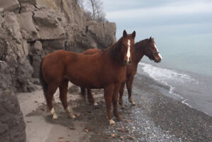 Two beautiful mares for sale