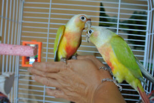 Gorgeous handfed baby Yellow Sided Dilute conure Female