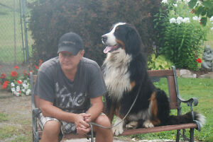CKC Bernese Mountain Dog Puppies - Available Sept and Oct.