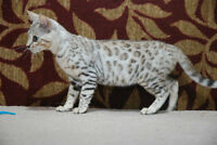 TICA Registered Silver Female Bengal