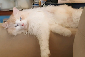 TICA Registered Flame bicolour adult male - neutered