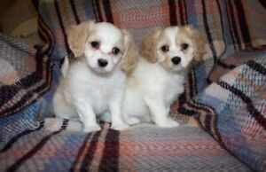 Bichon | Adopt Dogs & Puppies Locally in Alberta | Kijiji