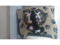 Jack-Shih puppies