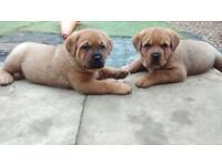 Rottweiler X mastiff puppies