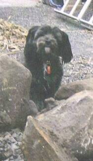 Lost -- Missing  Black   Poodle Schneizer Brighton Brighton Area Preview