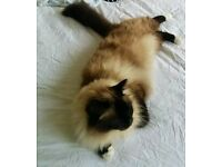 Lost much loved Birman cat called Wilbur from Ealing (Castlebar park)