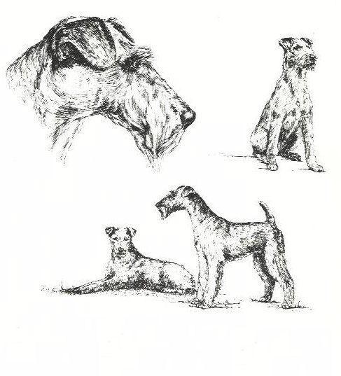 Irish Terrier - 1963 Vintage Dog Print - Matted *