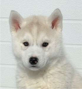 Ready to go today! Beautiful Siberian husky puppies for Sale